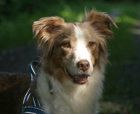 Dog Breeds | Australian Shepherd NewDogTimes_com