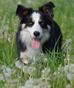Dog Breeds | Border Collie