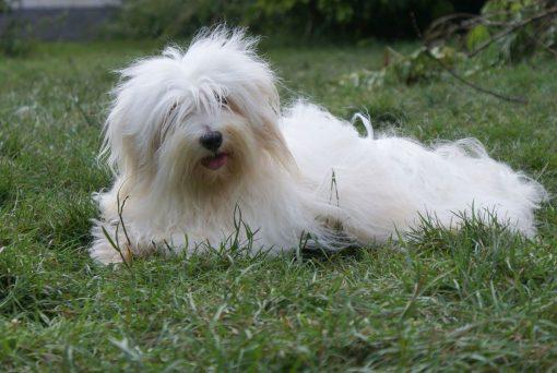coton_de-tulear-lying-in-grass_newdogtimes-com