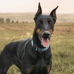 Dog Breeds Doberman Pinscher NewDogtimes.com