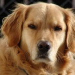 Dog Breeds | Golden Retriever Newdogtimes.com