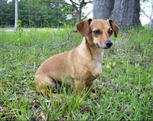 Dog Breeds : Chiweenie