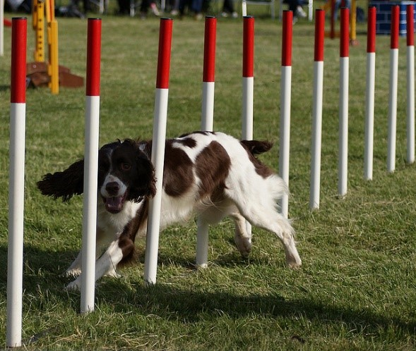 English Springer Spaniel Training