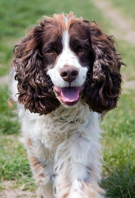 English Springer Spaniel Walking
