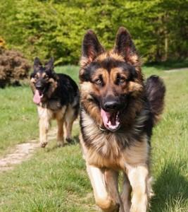 German Shepherd_Dog_Training _ 1_NewDogTimes