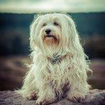 Dog Breeds Havanese